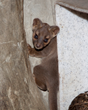Denver Zoo Welcomes First Ever Fossa Birth