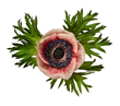 Anemone from David Leaser