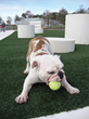 A bulldog enjoys K9Grass at the Curtis-Hixon dog park in Tampa, Fla.