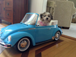 Royal Flush Havanese Offers Tips On the Importance of Restraining Dogs In Cars