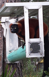Lemur at LCF's forest habitats on the Comfort Branch prototype