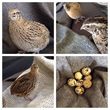 The Quail Collection