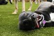 Dog enjoying K9Grass by ForeverLawn
