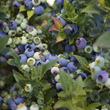 BrazelBerries® Jelly Bean™
