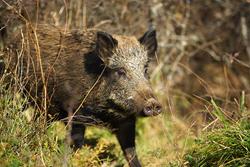 wild pig, feral pig, feral boar, wild swine, hawaii pests, pests of hawaii, feral pests, dangerous pests