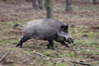 wild pig, feral pig, feral boar, boar charge, boar charging, pig charging, wild swine, hawaii pests, pests of hawaii, feral pests, dangerous pests
