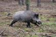 wild pig, feral pig, feral boar, boar charge, boar charging, pig charging, wild swine, hawaii pests, pests of hawaii, feral pests, dangerous pests