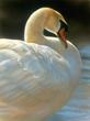 Swan by Rebecca Latham