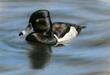 Ringneck Duck by Bonnie Latham