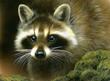 Raccoon by Rebecca Latham