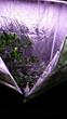 lemon tree thriving under PAR-Force LED phosphor blend grow lights