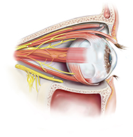 whole-eye-transplantation