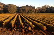 """Despite the ongoing drought, Napa Valley experienced a """"steady as she goes"""" wine grape growing season in 2014."""