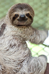 Sloths are cute