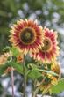 Burpee's 'Candy Mountain' Sunflower