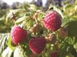 Burpee's 'Glencoe' Raspberry