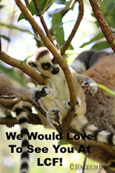 ring-tailed lemur infant born at LCF in 2014