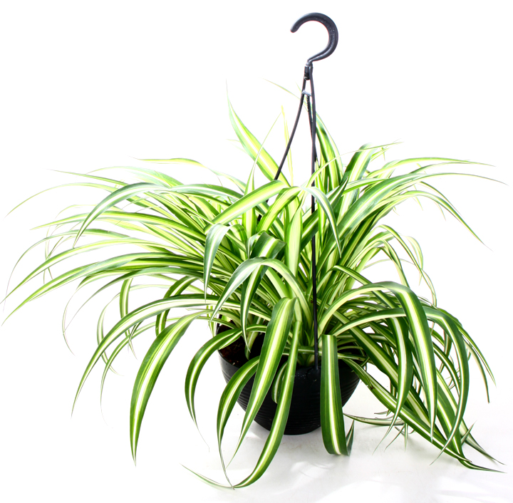 African Spider Plant Make The Spider Plant Look