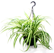 Make the spider plant look even more sinister by placing it in a creepy container on mantles, windowsills and tabletops.