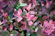 Pink Icing's beautiful spring foliage
