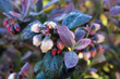 Pink Icing's winter foliage takes on a stunning iridescent turquoise blue foliage hue.