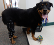 Happy Dog with Knee Brace