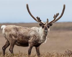 caribou in Western Arctic Reserve