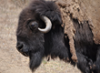 Oakland Zoo Celebrates National Bison Day