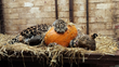 African Leopard Bakari plays with pumpkin in FOUR PAWS sanctuary in the Netherlands