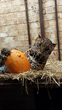 African Leopard Bakari enjoys pumpkin at Dutch FOUR PAWS sanctuary