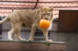 Rescued Lioness Noor plays with pumpkin at Dutch rescue center