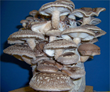Shiitake mushrooms on a Shiitake Mushroom Kit