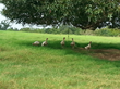 The Ultimate Thanksgiving Turkey Is Pastured!