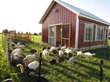 The presidential flock enjoys some sunshine outside the barn where the turkeys are being raised by Cooper Farms in Ft. Recovery, Ohio.