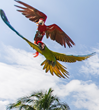 Xcaret and Arroyo Negro Start the Great Green Macaw Breeding Project...