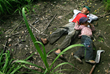 Children working in the sugar cane field in El Salvador