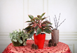 Red Aglaonema, Costa Farms