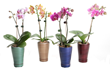 A beautiful mini moth orchid is so easy-to-grow, making it the gift people love to receive.
