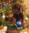 Christmas Chocolate Cravings? Celebrate with a Lab Puppy, Sweetness that Doesn't Add to the Waistline!