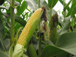 More Lawsuits Filed Representing 10 States Alleging Syngenta's GMO...