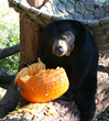 Oakland Zoo Animals Thankful for Pumpkin Leftovers