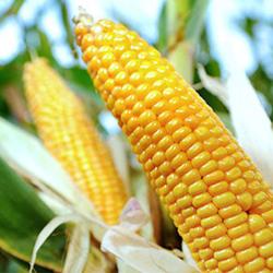 Syngenta GMO Corn Seed