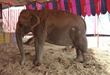 A shackled circus elephant in India