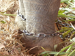 Circus elephants are often chained on all four legs