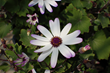 Suntory Senetti Blue Eye pericallis