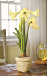Honeybee Amaryllis with its large yellow flowers can add color, interest and enjoyment.