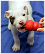 Charlie of SF ACC getting his toy in 2013