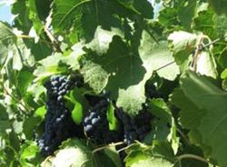 Pacifica Wine Division - Paso Robles - wine real estate