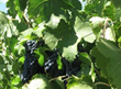 Pacifica Commercial Realty Announces Two Exclusive Winegrape Vineyards...