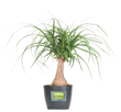 ponytail palm, plants of steel, costa farms, hard to kill plants